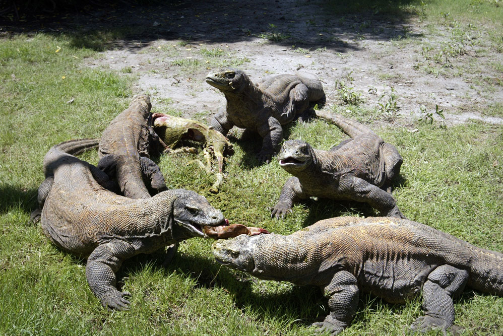A group of Komodo dragons feast on a fresh goat carcass inside the Surabaya Zoo enclosure for the giant lizards during feeding time on March 20, 2013.  Meanwhile seven Komodo dragons have hatched on March 10, 2013 under a breeding programme in Surabaya zoo an official said, a success story that raises hope for the endangered lizard. AFP PHOTO / JUNI KRISWANTO